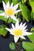 Deux fleurs de lotus blanc — Photo