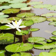 Stock Photo: White lotus in water