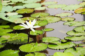 White lotus in the water — Stock Photo