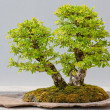 Japanese Evergreen Bonsai on Display — Stock Photo