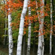 Colorful Aspen Birch Tree — Stock Photo #8138038