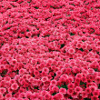 Red Flower Field — Stock Photo #8138287