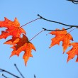 Backlit Maple Tree Leaves — Stock Photo