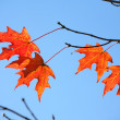 Backlit Maple Tree Leaves - Stock Photo
