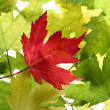 Back Lit Maple Tree Leaves — Stock Photo