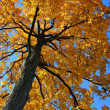 Stock Photo: Backlit Autumn Oak Tree