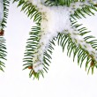 Snow Covered Pine Tree Branch - Stock Photo