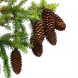 Pine Corns on Branch Isolated — Stock Photo