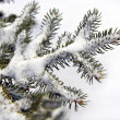 Snow Covered Pine Tree Branch — Stock Photo #8138646