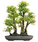 Japanese Evergreen Bonsai on Display Isolated — Stock Photo