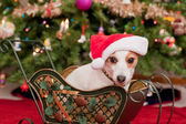 Cute Little Dog with Christmas Hat — Photo