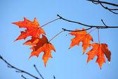 Backlit Maple Tree Leaves — Stock Photo
