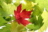 Powrót zapalił drzewo klonowe listowie — Zdjęcie stockowe