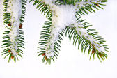 Snow Covered Pine Tree Branch — Stock Photo