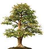 Isolate Lone Tree — Stock Photo