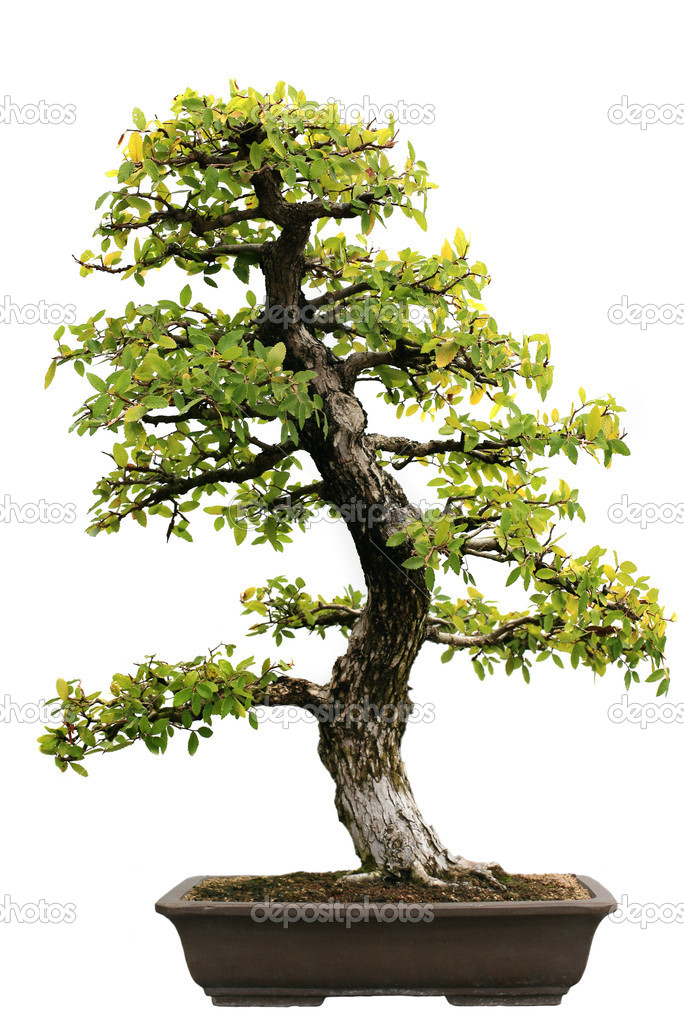 Japanese Evergreen Bonsai on Isolated background — Stock Photo #8138059