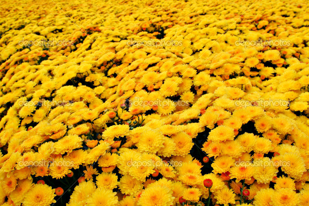 Autumn Yellow Flower Field  Stock Photo #8138280