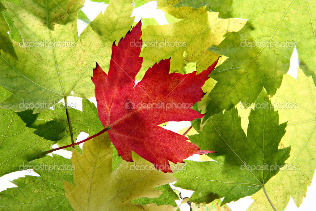 Back Lit Maple Tree Leaves Closeup Perfect for Background — Stock Photo #8138502
