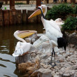 Pelican and Red-crowned Crane - Stock Photo