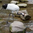 Red-crowned Crane or Japanese Crane - Stock Photo