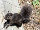 Toronto Lake squirrel 2011 — Stock Photo