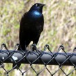 Stock Photo: Thornhill Common Grackle 2011