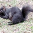 Stock Photo: Thornhill squirrel 2011