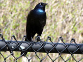 Thornhill Common Grackle 2011 — Stock Photo