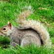 Washington squirrel 2011 - Stock Photo