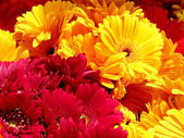 Tel Aviv Bright colorful asters 2011 — Stock Photo