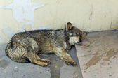 An old stray dog ​​sleeping by the wall — Stock Photo