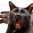 Tomcat yawns — Stock Photo