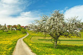 Blooming fruit tree with village — Stock Photo