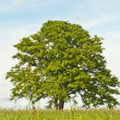 Oak in spring - Stock Photo