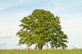 Oak in spring — Stock Photo