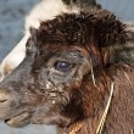 Alpaca, Vicugna pacos — Stock Photo #8516977