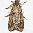 Mediterranean flour moth - Stock Photo