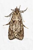 Méditerranée farine moth — Photo