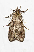 Mediterranean flour moth — Photo