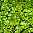 Water cress, Nasturtium officinale — Stock Photo #9384460