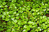 Water cress, Nasturtium officinale — Stock Photo