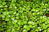 Water cress, Nasturtium officinale — Stock Photo