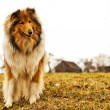 Stock Photo: Collie