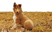 Collie whelp — Stock Photo