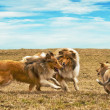Running collie dogs — Stock Photo