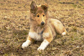Collie valpar — Stockfoto