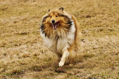 Collie running — Stock Photo