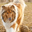 Collie with ball — Stock Photo #9680444