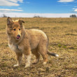 Collie whelp — Stock Photo #9680565