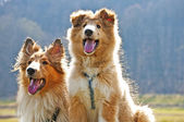 Amerikanska collie hundar — Stockfoto